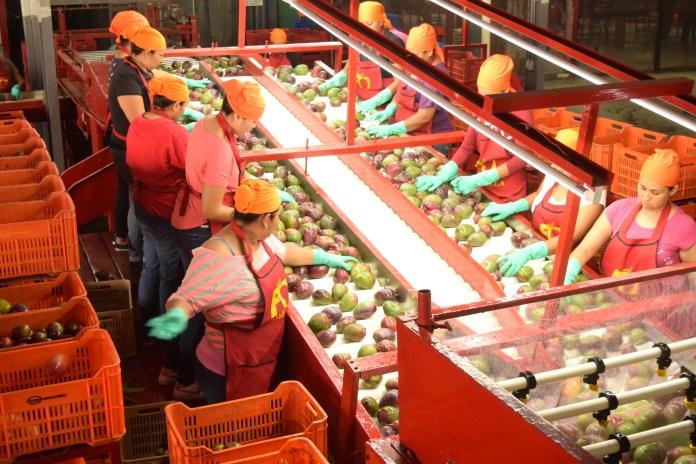 Asociación de Productores y Exportadores de Mango - Inicia la cosecha de  mango en norte y sur del estado