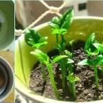 Aprenda a plantar limão numa xícara para perfumar a sua casa e decorar