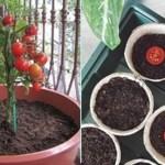 Plante seu próprio tomate sem veneno, mesmo sem espaço, usando um simples vaso