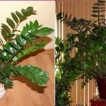 Zamioculca: Veja como plantar e decorar a casa com essa linda planta