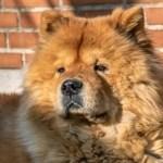 Menina morre depois de ser atacada por cachorro da raça Chow-chow