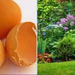 Como utilizar as cascas de ovos para adubar as plantas e a horta