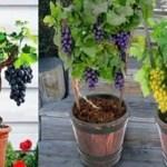 Aprenda a plantar uvas em casa de forma fácil