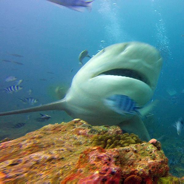 Bull Shark in Beqa, Fiji