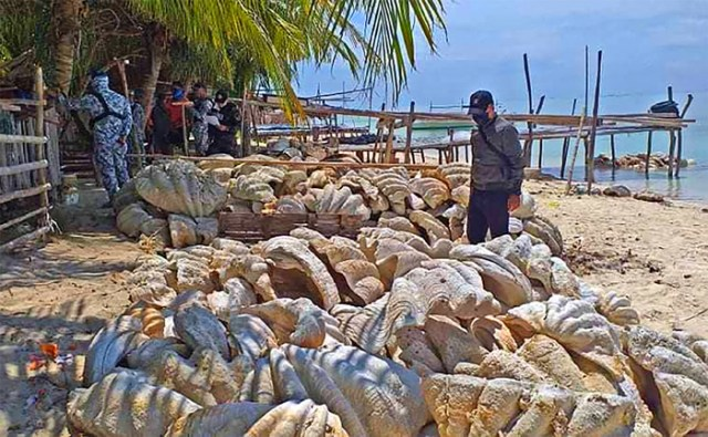 Record haul: P1.2 billion giant clams seized in Palawan