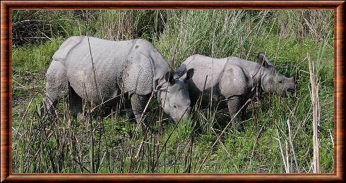 Rhinocéros indien 03