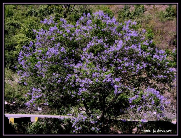 The tree with purple flowers