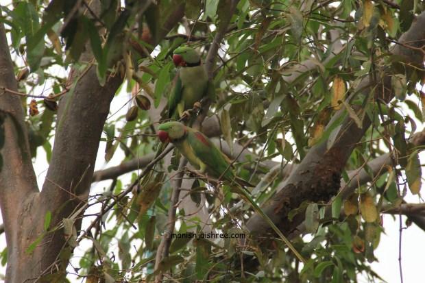 'Alexandrine Parakeet' at Local park