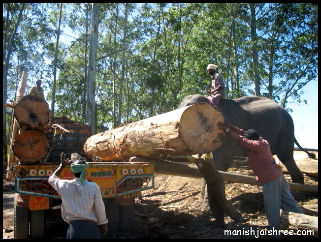 Elephant with logs