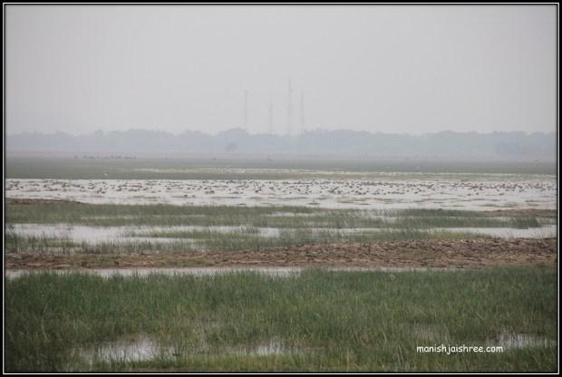 Flocks of birds at Mangalajodi