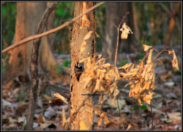 Grey capped Pygmy woodpecker