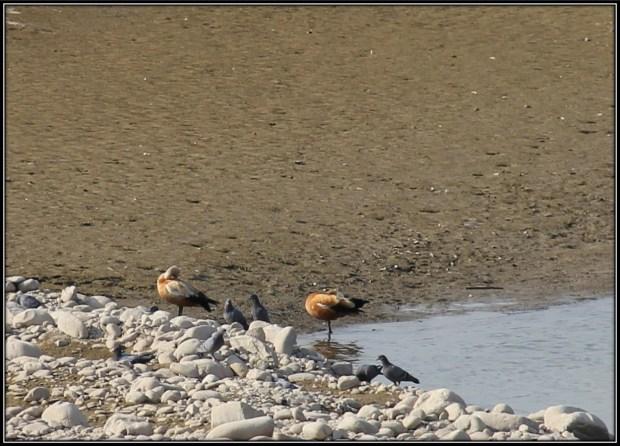 Ruddy Shelduck- migratory bird from Ladakh