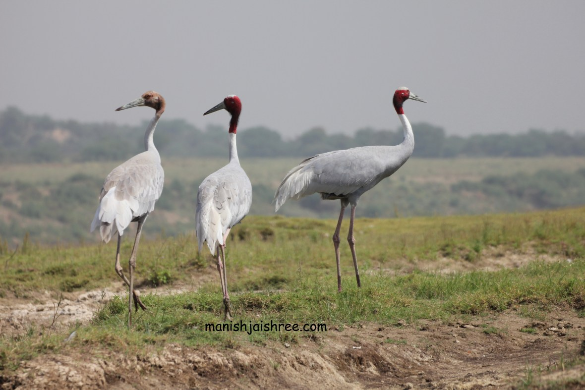 'Sarus Crane' at National Chambal Sactuary