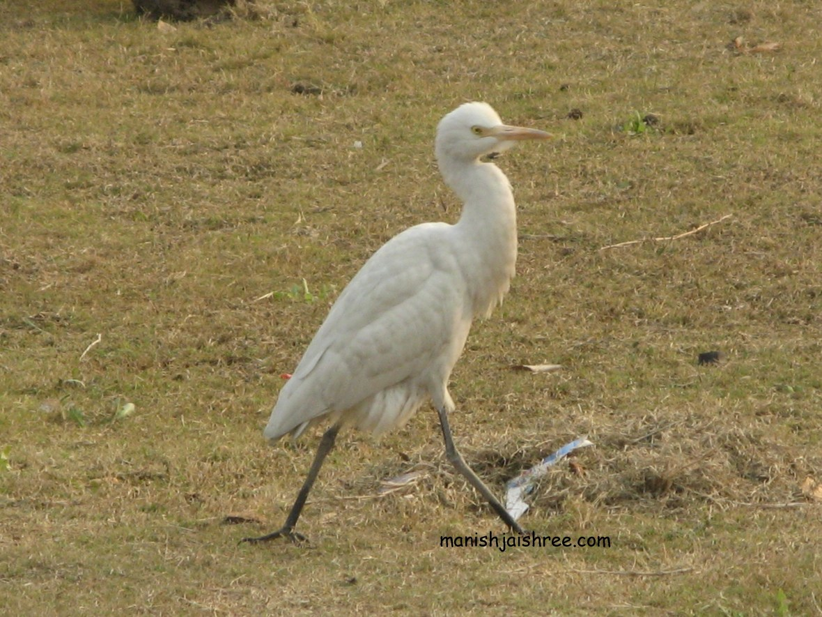 'Cattle Egret' in non breeding plumage