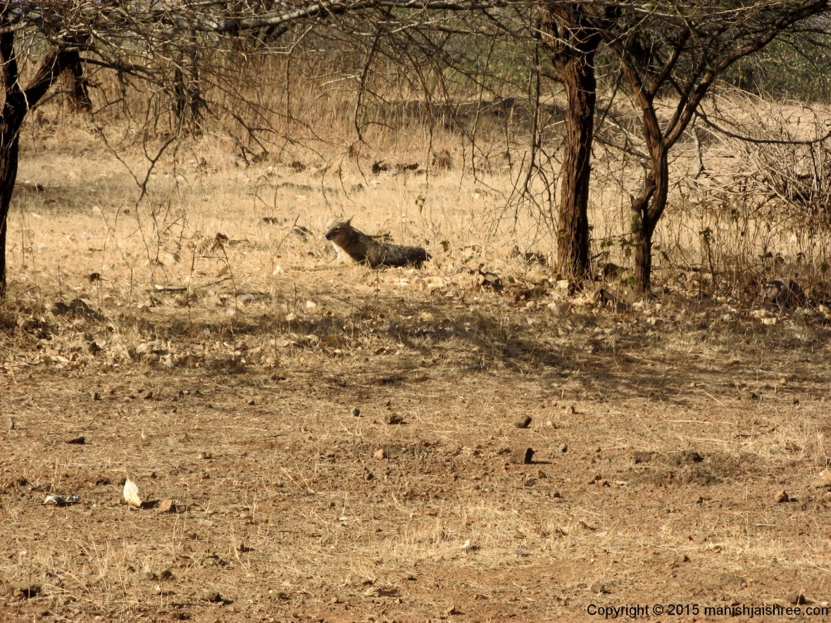The Golden-Jackal, Sasan-Gir