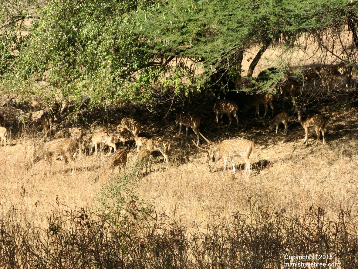 Herd of Spotted deer, Sasan Gir