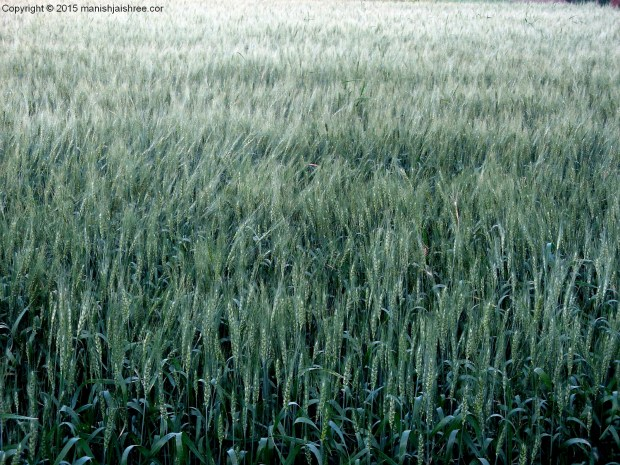 Wheat Pods, Sasan Gir