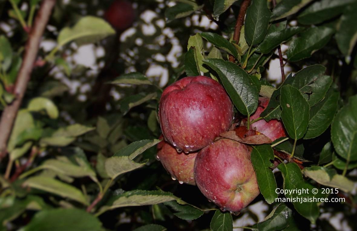 Apples of Himachal
