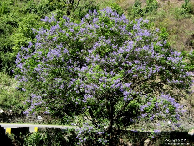 The blossoming purple flower tree