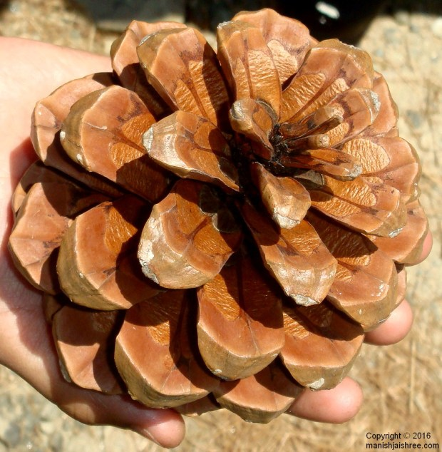 A souvenir from Binsar - Pine-Cone