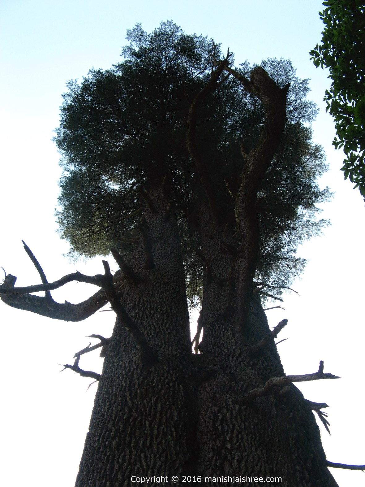 Giant Deodar trees guarding the Jageshwar Temple complex