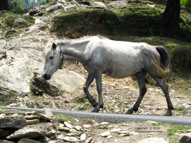Horse with bell in Munsiyari