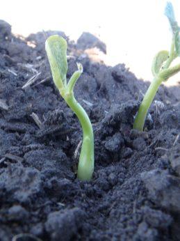 Bald head dry bean seedling with swollen hypocotyl on June 6.
