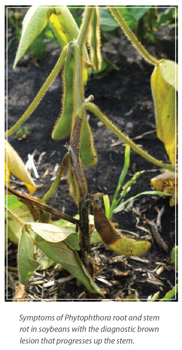 Resistance to Phytophthora Root and Stem Rot in Soybean