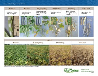 Dry Bean Growth Staging Guide pg2