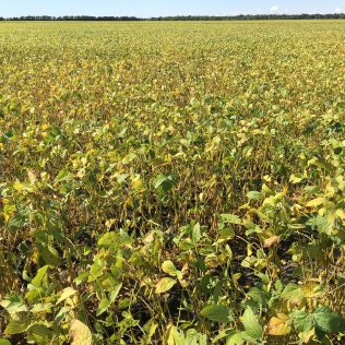 Soybeans at R7 on August 30.