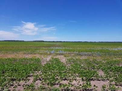 Soybeans under water near Gladstone on July 3, 2020.