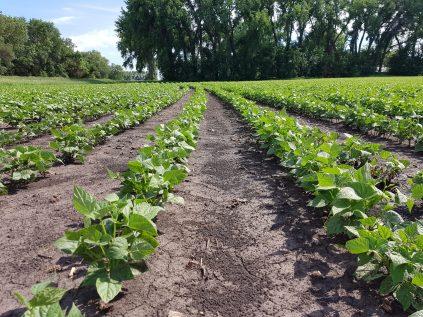 Dry beans near Altona at V5 on July 5, 2020.
