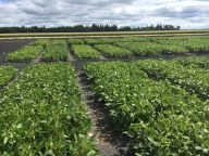 Herbicide-tolerant soybean variety evaluation trial at Arborg on July 28.