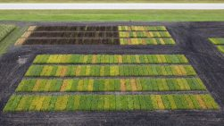 Aerial view of the Stonewall variety trial site on September 1, including faba beans (upper left), conventional soybeans (upper right) and herbicide-tolerant soybeans (bottom). Photo: Kevin Baron, Solum Valley Biosciences.