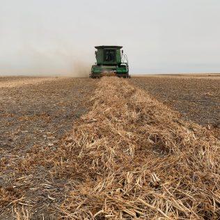 Harvest of black bean nitrogen trial.