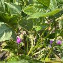 Black beans at full flower near Melita on July 14, 2021.