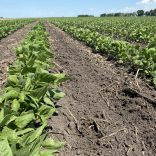 Wide-row pinto beans that have just been tilled between the rows on June 30 near Carman.