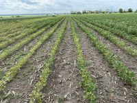 Above-ground symptoms of SCN in southern Manitoba on July 9.