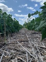 More growth, better vigour and less weed pressure in strip-till pinto beans.