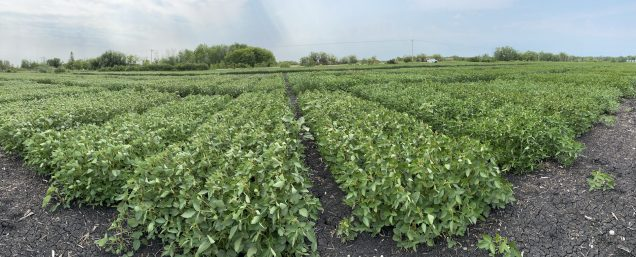 Soybean variety trial at Beausejour on July 28.