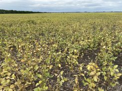 Soybeans at the R7 stage near Morden on August 27.