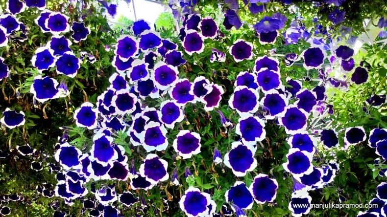 Flowers, Dubai, Garden, Blue, white