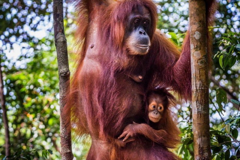 Sumatra, Indonesia, Orang Utan