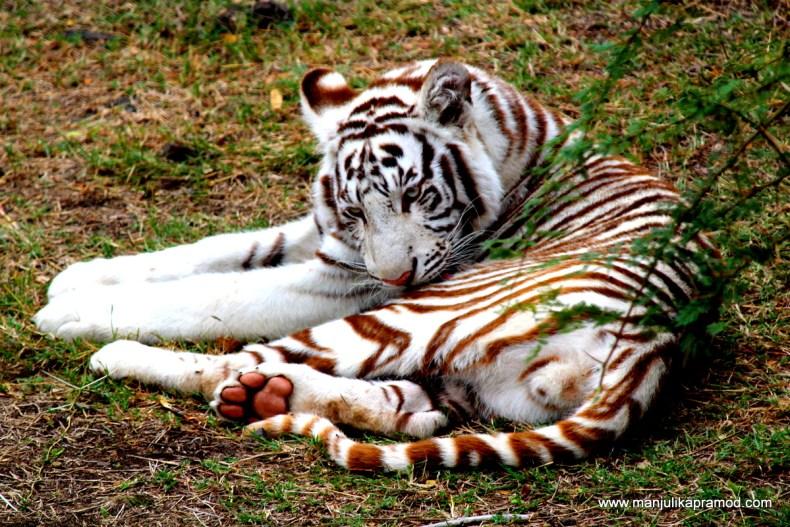 The Big Cat, Casela Nature Park, Mauritius