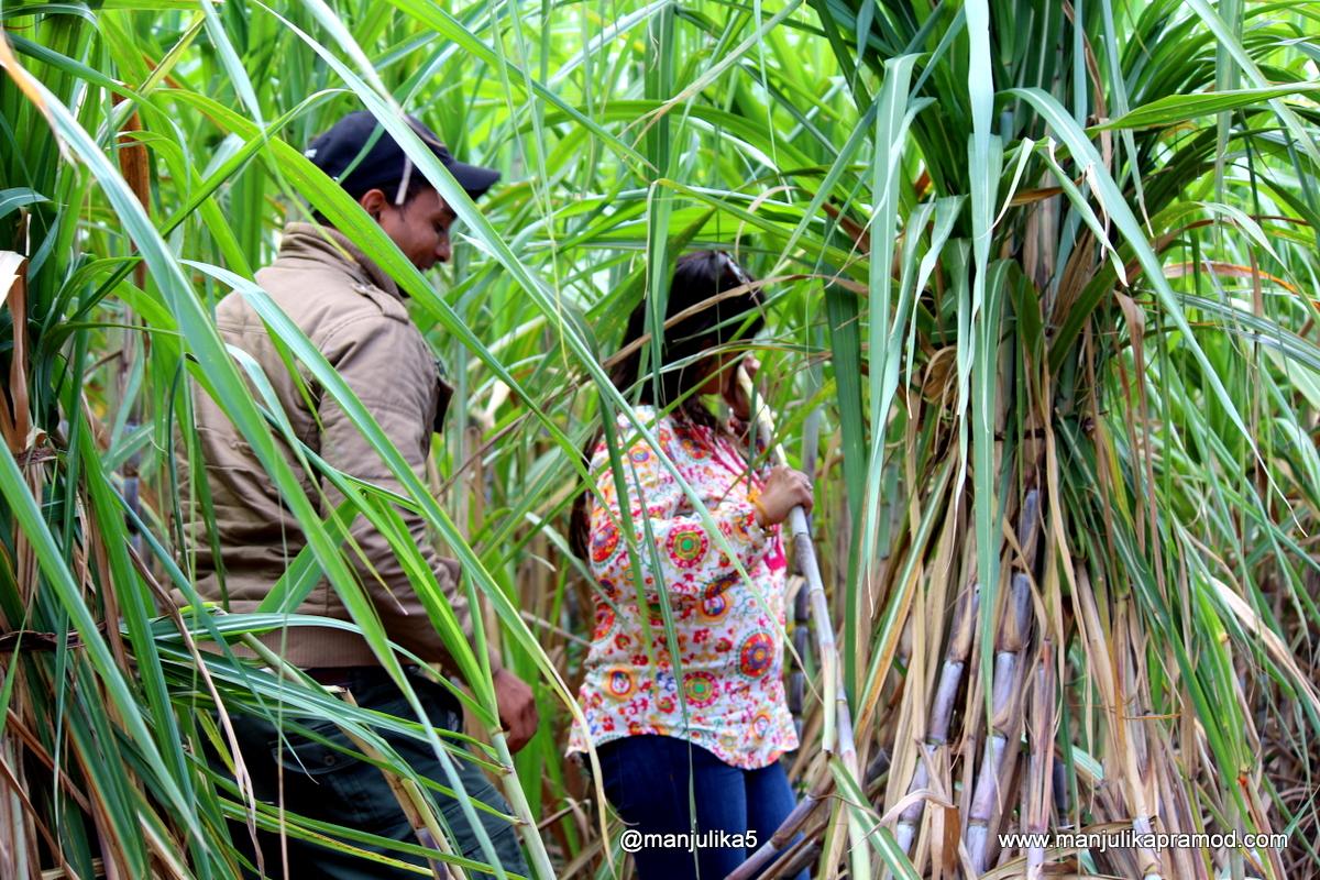 Sugarcane, Fields, Mauritius