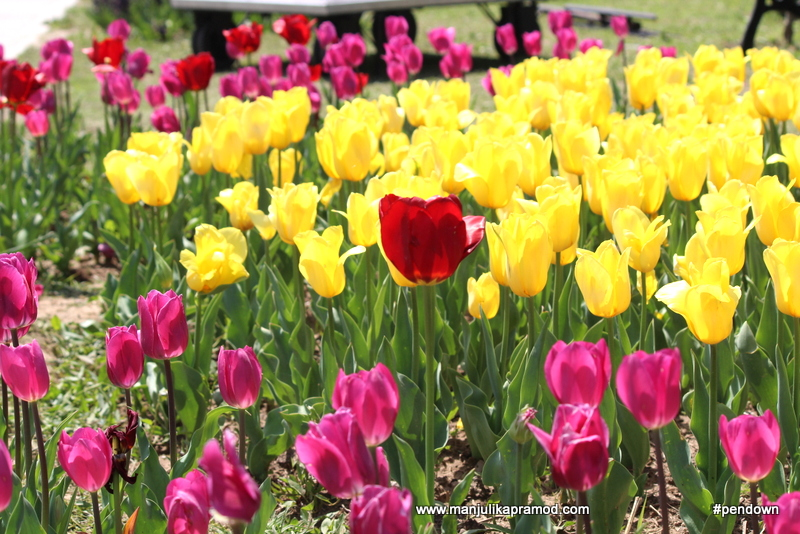 The tulip festival of Kashmir