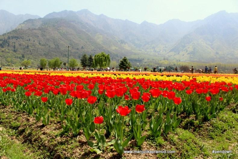Zabarwan ranges, Tulip flowers