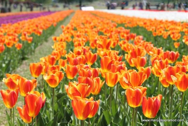 Tulip festival, Kashmir