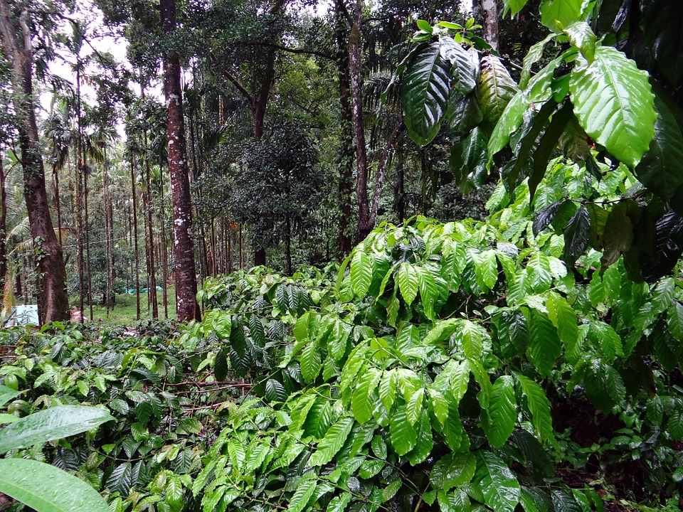 coffee-plantation-Madikeri