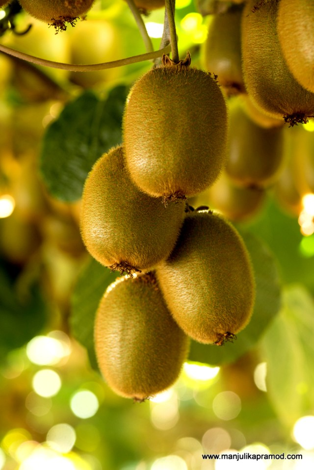 Kiwifruit, tree, Pro Chile